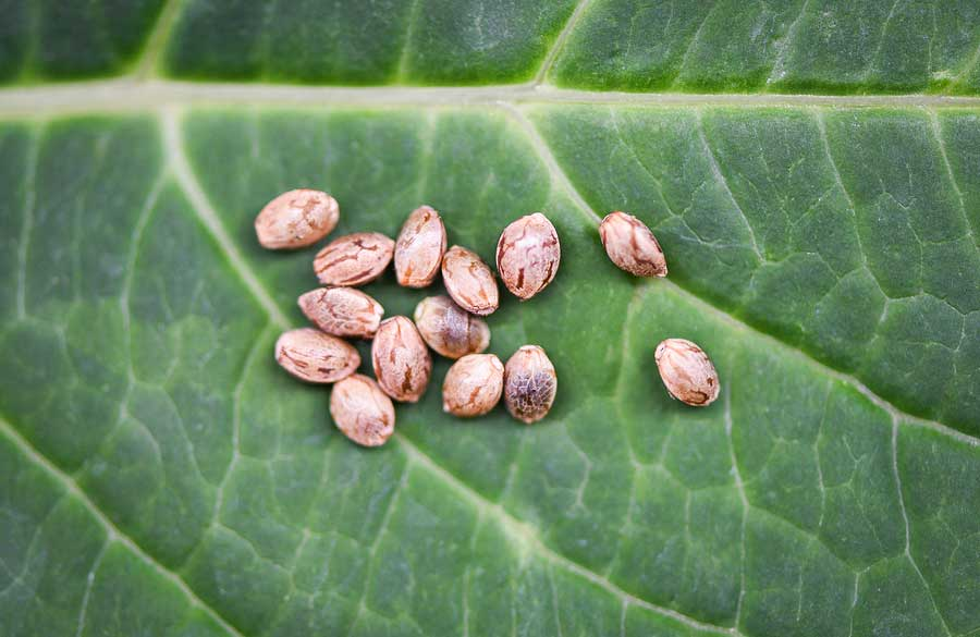 Advantages of Feminized Seeds