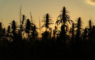 Best Place to Grow Outdoor Feminized Weed