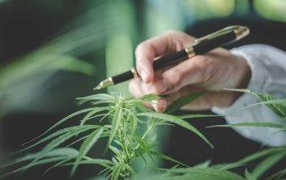 Marijuana Boron Deficiency