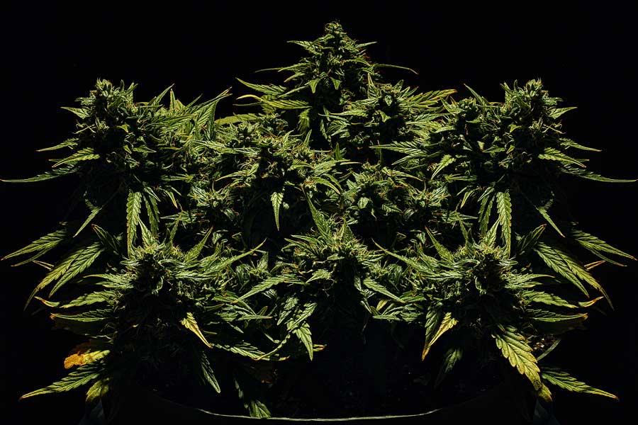 Marijuana Hermaphrodite