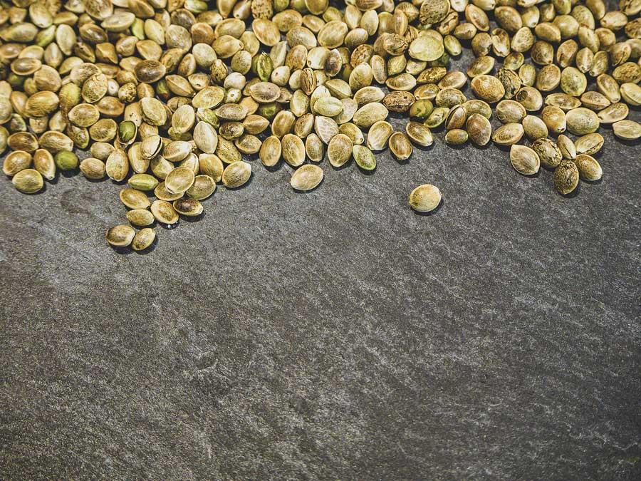 growing feminized cannabis seeds