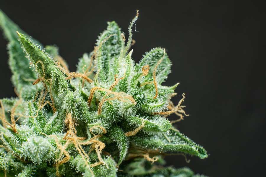 autoflowering seeds feminized