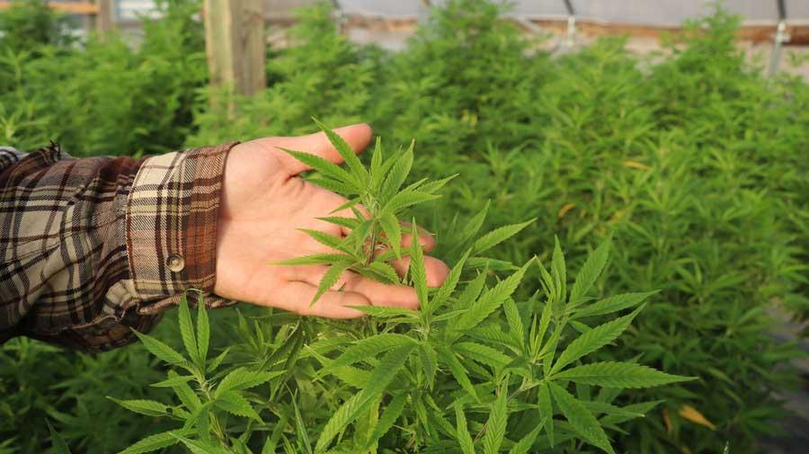 Grow Autoflowering Weed Outdoors