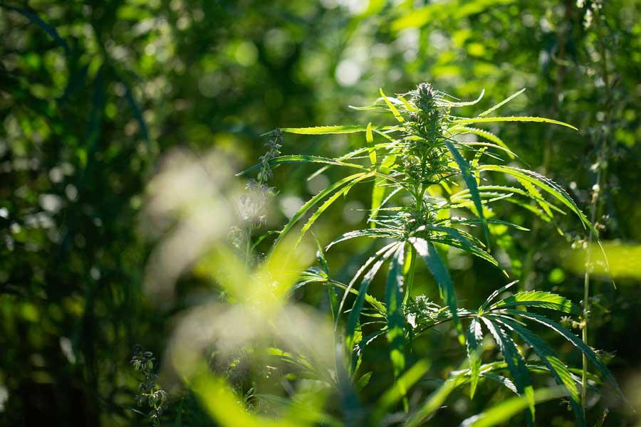 Autoflower Cannabis Hermaphrodite