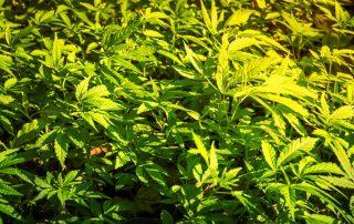 Cannabis Autoflowering
