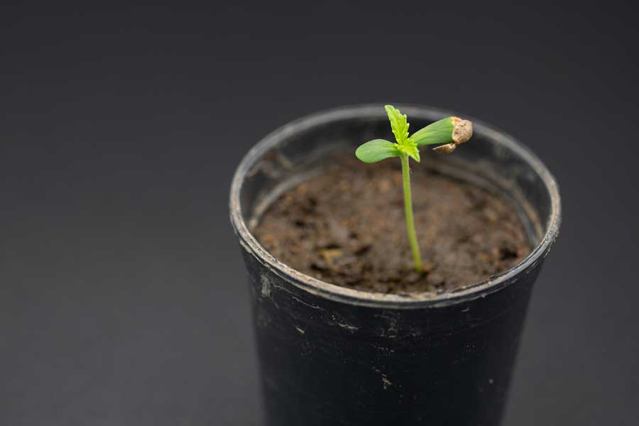Growing Cannabis Seeds for Beginners