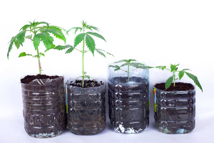 How to Grow Cannabis From Seeds