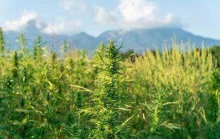 Overgrown Marijuana Plants