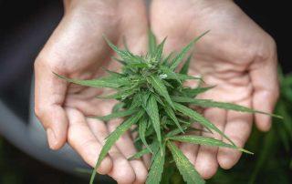 Top Feminized Marijuana Strains