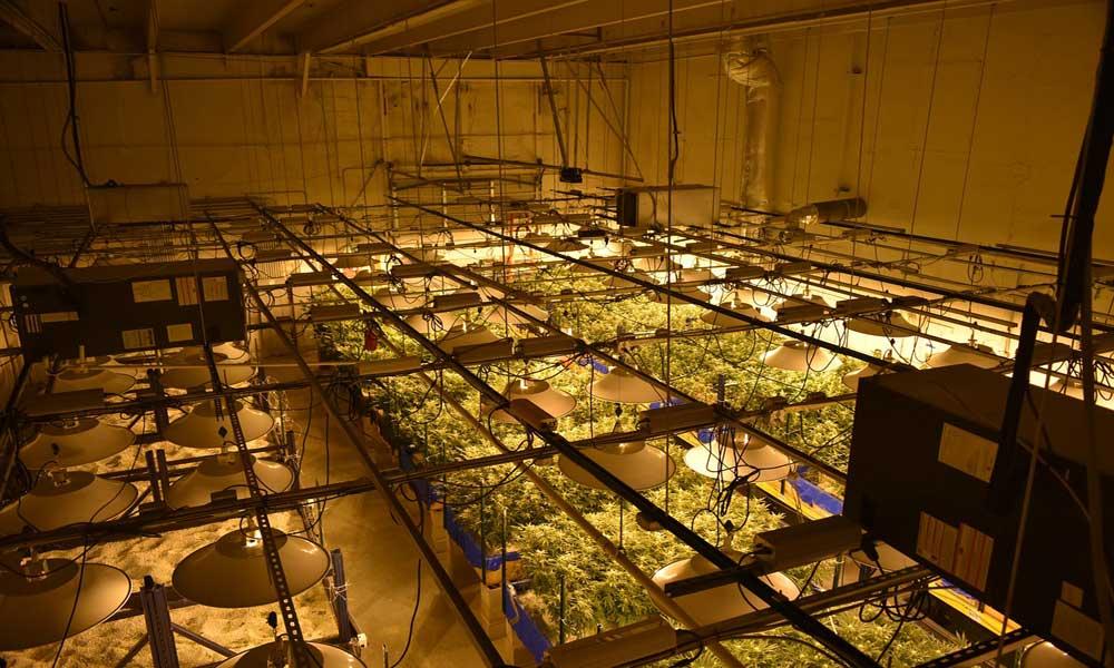 Indoor Marijuana Plants
