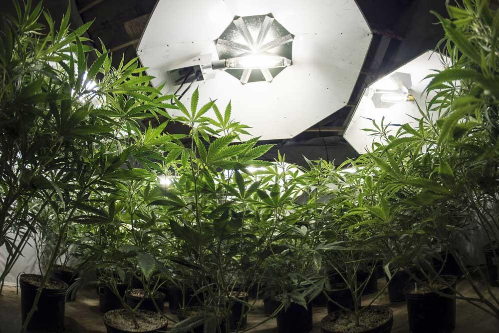 Can autoflowers grow under 12/12
