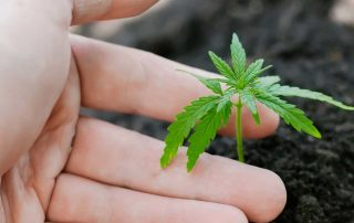 Smallest Marijuana Plants