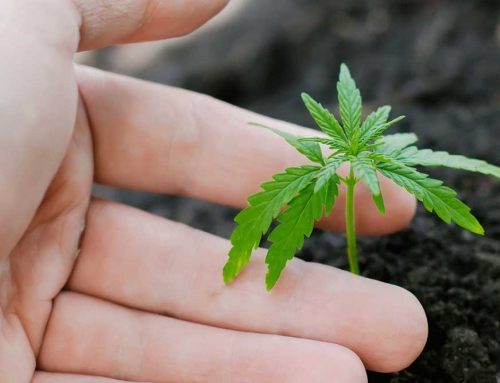 3 Smallest Marijuana Plants 2020