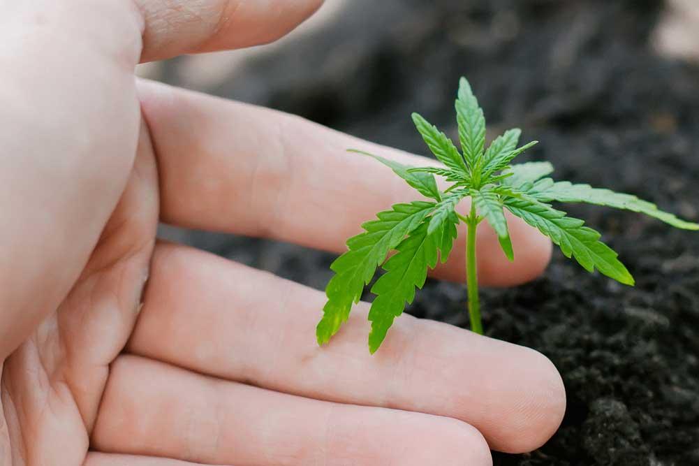 Smallest Marijuana Plants